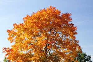 bright orange red tree in fall