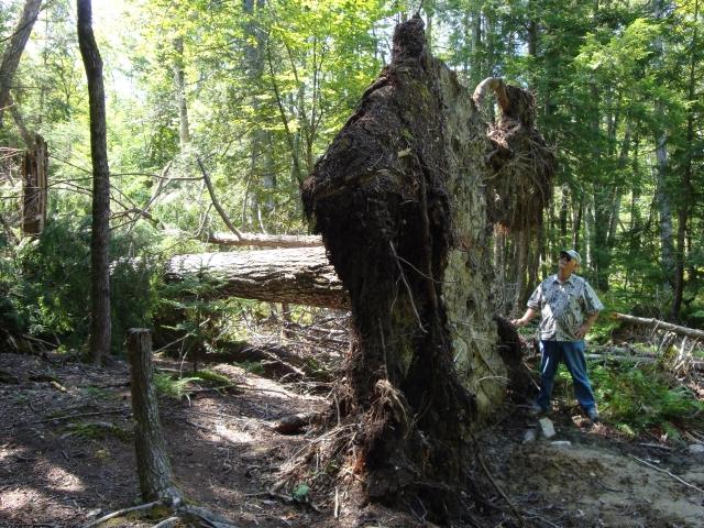 huge fallen pinetree down back